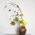 Liquidambar - crisantemo