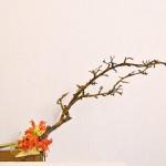 Acacia gloriosa